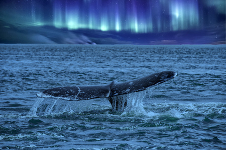 whale tail on northern lights background going down