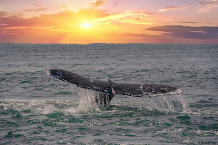 whale tail on red sunset background going down