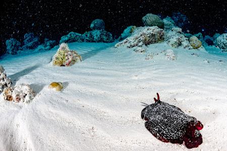 Giant Red slug Nudibranch while night diving Maldives Hecabranchus Sanguineus