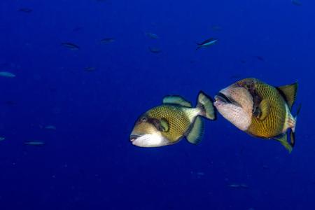 triggerfish: titan triggerfish on blue ocean background