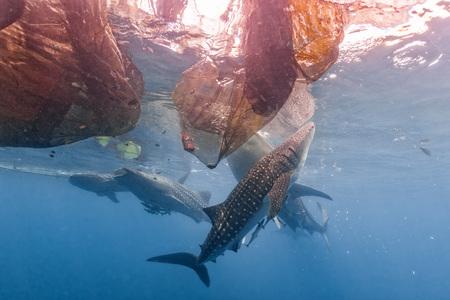 Whale Shark under fisherman platform in Papua Indonesia