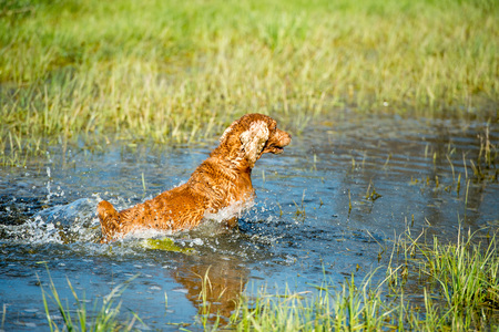cocker: Happy english cocker spaniel while playing in the river