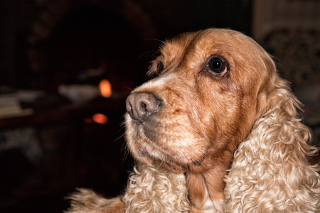 Cocker Spaniel Dog waiting for his master