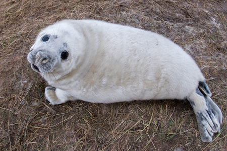 baby seal: grey seal puppy while relaxing at Donna Nook Lincolnshire beach England Stock Photo