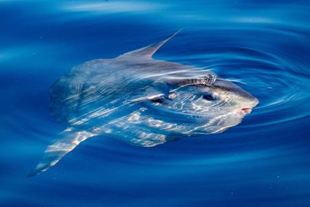 Zonvissen onderwater tijdens het eten van kwallen Velella