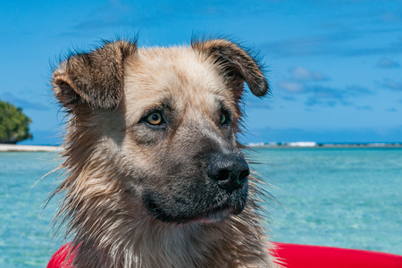Dog looking at you on tropical crystal polynesian sea water sandy beach Stock Photo