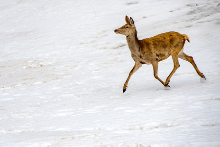 Male deer while running on the snow background