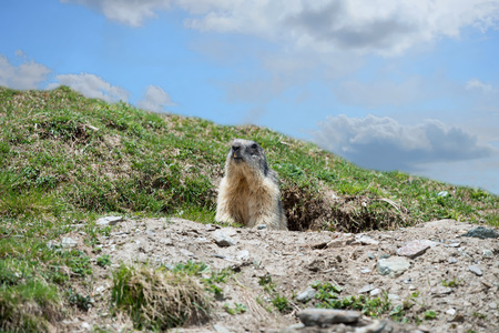 Isolated marmot portrait ground hog on mountain background Stock Photo