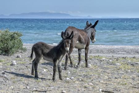 newborn young donkey in baja california desert Stock Photo