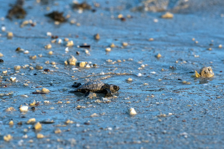 newborn baby green golfina turtle approaching sea for first time after breaking egg