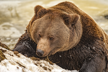 Black bear brown grizzly portrait in the snow background