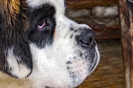 Saint Bernard dog puppy young portrait in winter season Stock Photo