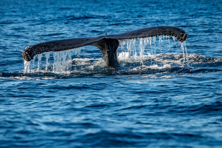 humpback whale tail on pacific ocean background