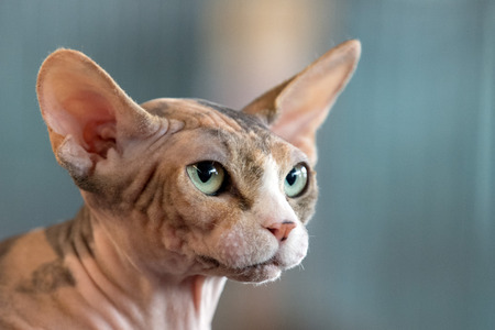 sphynx cat close up portrait looking at you