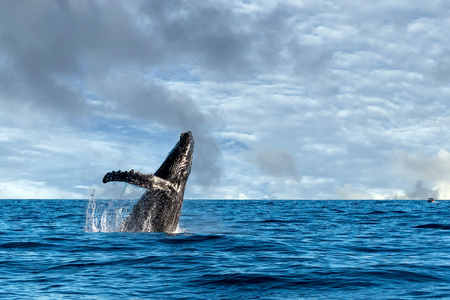 humpback whale breaching on pacific ocean background Standard-Bild - 95306982