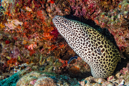 leopard eel mooray portrait while hiding on its reef nest