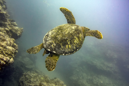 Green turtle coming to you underwater while diving Cook Island polynesia Stock Photo