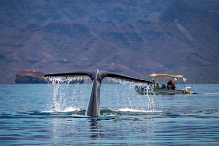 Blue Whale the biggest animal in the world 24 meters long Stock Photo