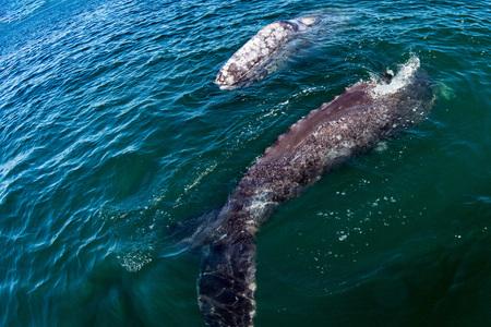 カリフォルニアの新生児灰色のクジラの子牛と母親 写真素材