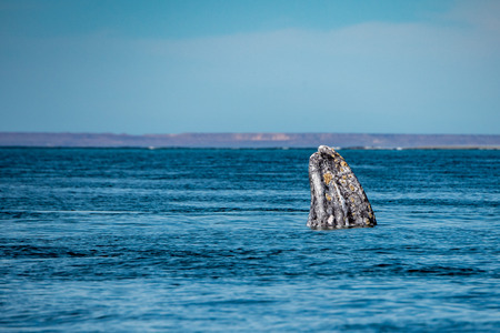 grey whale baby nose going up in the Pacific ocean Stock Photo