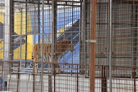 Circus tiger in metal cage looking at you