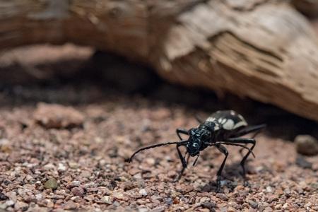 egyptian predator beetle anthia sexmaculata macro