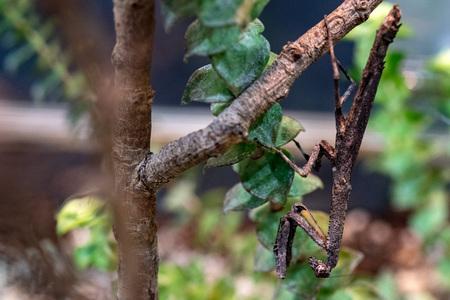 Popa spurca african mimetic mantis macro Stock Photo