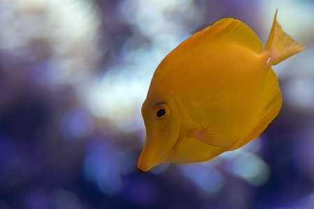 Yellow surgeon fish zebrasoma flavescens close up