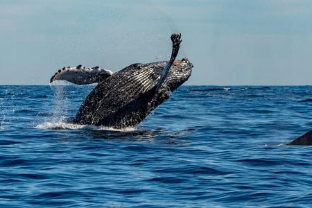태평양 바다 배경에 향유 고래