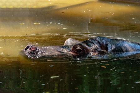 hippopotame, hippopotame, gros plan, portrait, dans, eau