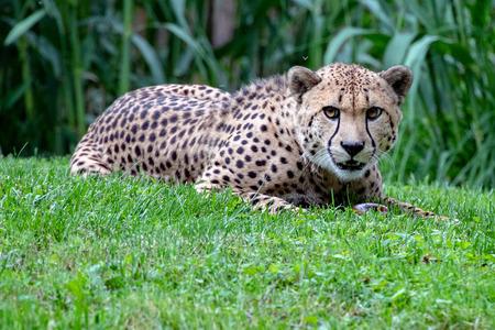 Isolated Jaguar cheeta eyes portrait close up