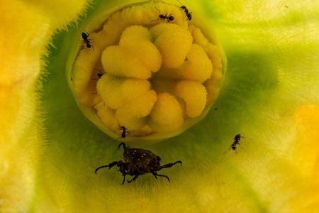 ants attacking beatle inside zucchini flower macro Reklamní fotografie