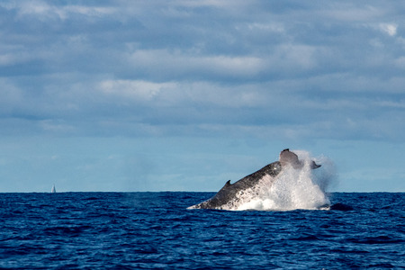 Humpback whale tail slap splash in pacific ocean Moorea French Polynesia
