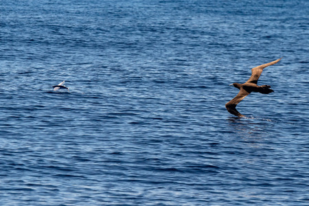Brown booby Gannet chasing a flying fish in French polynesia