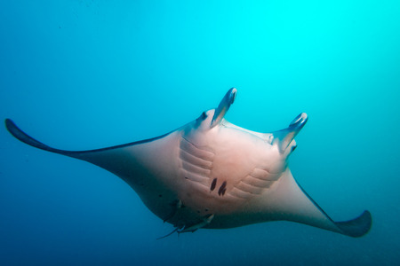 Divingg with Manta in french polynesia Bora Bora