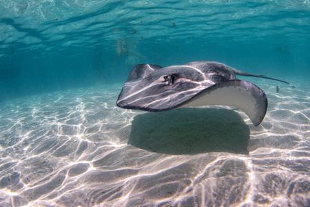snorkeling with Stingray in french polynesia Standard-Bild