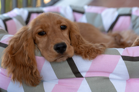 adorable puppy dog cocker spaniel sleeping on a sofa couch
