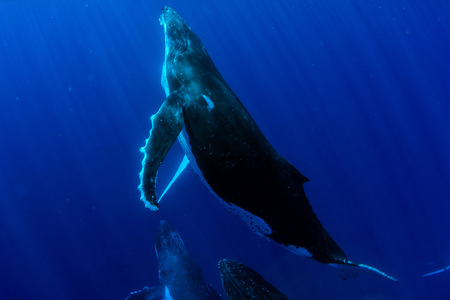 snorkeling Humpback whale underwater in pacific ocean Moorea French Polynesia Stockfoto