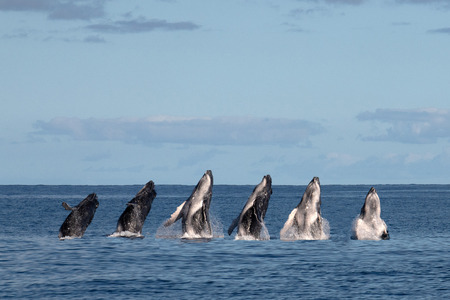 humback whale calf breaching in french polynesia full sequence