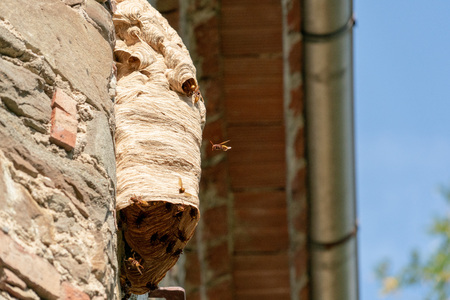 Big wasp hornet nest on old wall Banque d'images