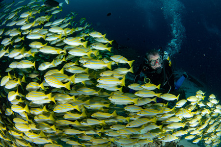 diver inside school of yellow Snapper Lutjanidae while diving maldives