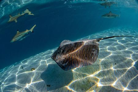 Sharker und Stachelrochen in Moorea Französisch-Polynesien Standard-Bild