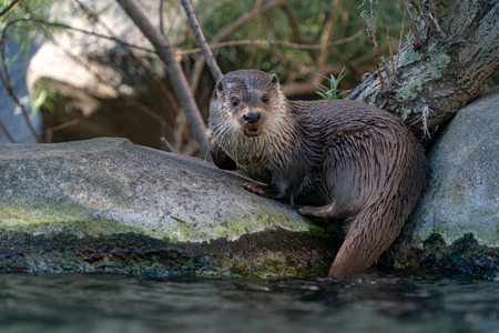 Otter catching a fish in the river portrait Banco de Imagens