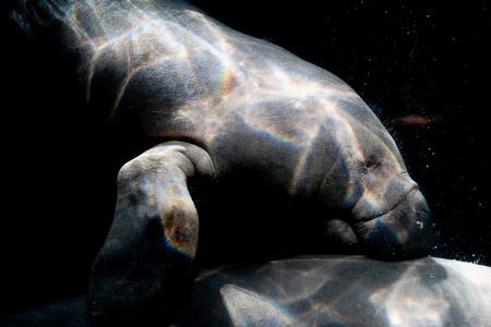 manatee underwater isolated on black background