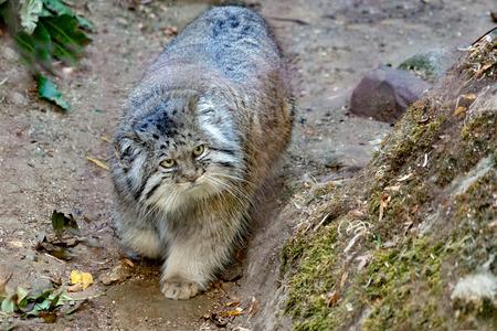 Retrato de gato Pallas mirándote