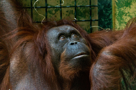orangutan face portrait looking at you from the cage Banque d'images