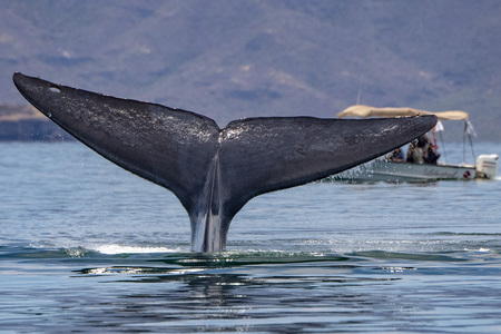 tail of Blue Whale the biggest animal in the world in baja california
