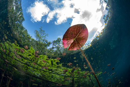 underwater gardens and water plants in Mexico cenotes cave diving Stockfoto