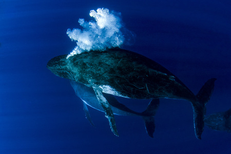 Humpback whale underwater in pacific ocean Moorea French Polynesia isolated on blue ocean background while maiking bubbles Reklamní fotografie