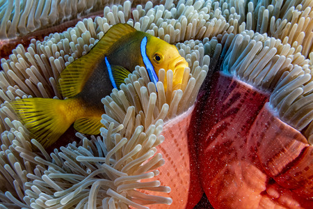 snorkeling in french polynesia turquoise water lagoon clown fish anemone